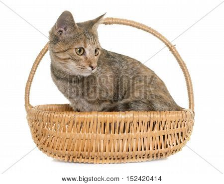 tabby kitten in front of white background