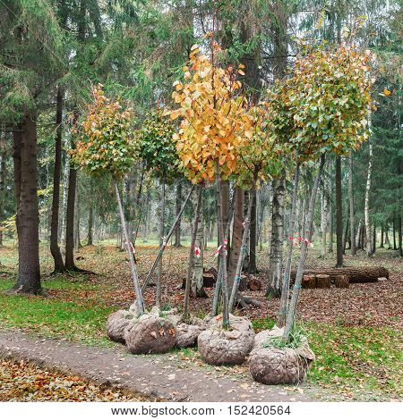 Trees with roots in burlap are ready for planting autumn
