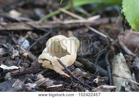 Peziza varia ascomycete fungus close up shot local focus