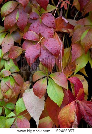 Background autumn colorful parthenocissus leaves with raindrops