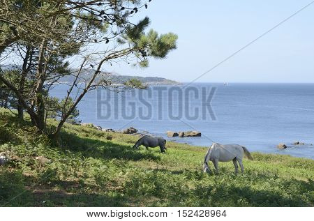 Horses grazing next to the coastline in the bay of Bueu in the province of Pontevedra Galicia Spain