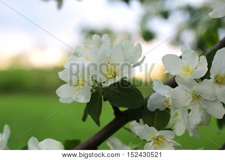 flower on a brunch of apple tree at sunset macro
