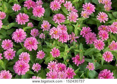 pink zinnia flowers top view in the garden