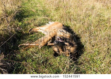 German shepherd dog lying on green grass chewing a stick