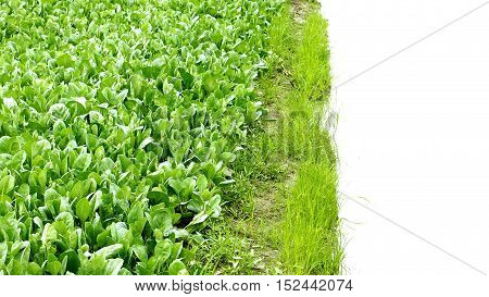 Kale plant crop photo around plot have canal or digging for watering and have right space is water white color for your word.This photo at Bangbuathong Nonthaburi Thailand.