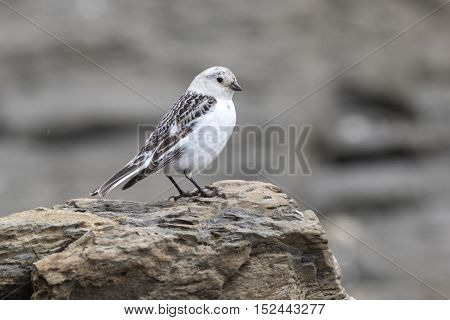 female Snow Bunting sitting on rocks in autumn overcast day