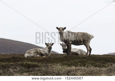 Group wild reindeer on the tundra in the early spring on a cloudy day