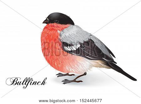 Vector beautiful realistic illustration of bird bullfinch. A cute, colorfull and detailed winter bird Isolated on white background.