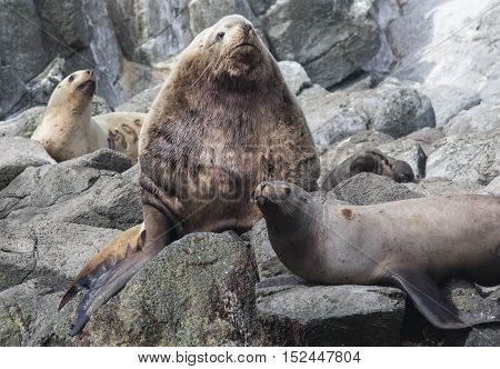 male Steller sea lions lying on a rock next to the harem rookery
