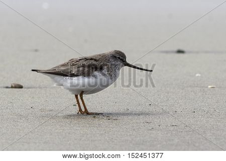 Terek Sandpiper standing on a sandy beach in the spring day