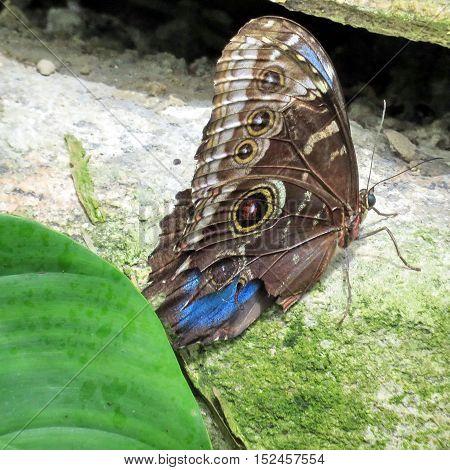 Niagara Falls Canada - July 162016: Common Morpho butterfly in garden.