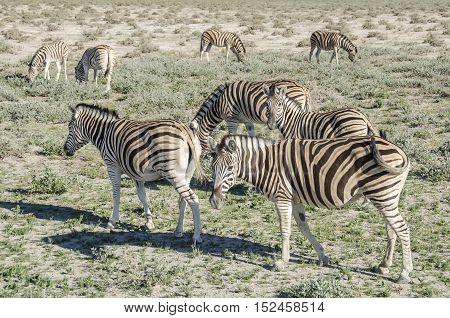 Plains zebras (Equus quagga) grazing in Etosha national park