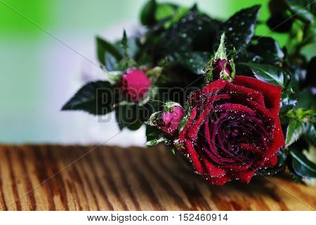 cute little shrub rose in a tiny pot gift for holiday