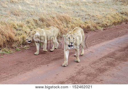 Two female lions walking in Ngorongoro Tansania