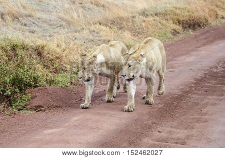 Two female lions with bloody mouth walking together synchronously in Ngorongoro Tanzania