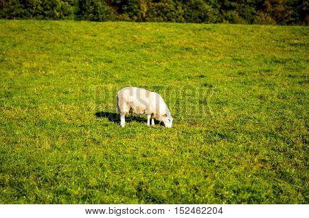 lone white sheep grazing on green pasture