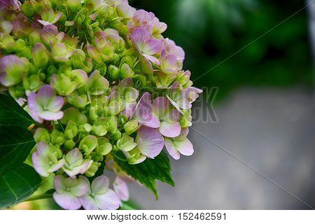 beautiful purple hydrangea flowers in the garden