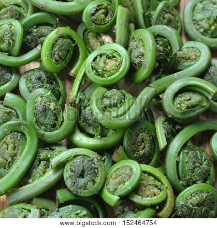 Fiddleheads (Fiddle Heads): Ostrich Fern Fronds. Edible wild plant foraged for food.