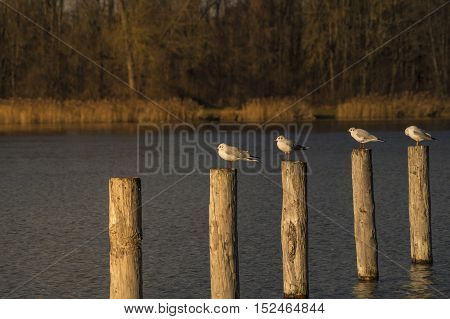 Some relaxing seagulls on a wooden pile