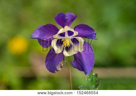 Beautiful violet flower. Violet flower. Garden flowers