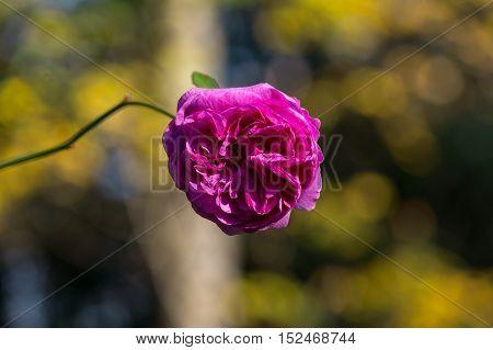 Close up of a violet rose on a sunny day. Violet garden rose