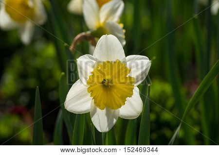 Close up of a beautiful white narcissus in spring. White daffodils