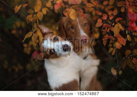 Dog Jack Russell Terrier and Nova Scotia Duck Tolling Retriever dog with leaves. gold and red color
