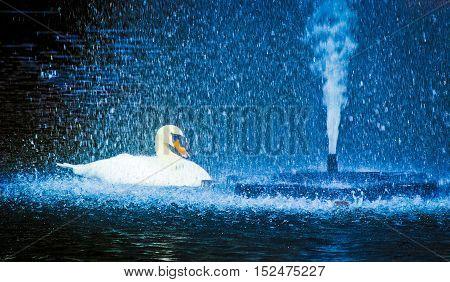 Swan in sprinkling water Beautiful swan in sprinkling water.