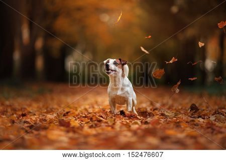 Autumn Mood. Jack Russell Terrier Dog With Leaves. Gold And Red Color