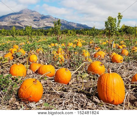 A field of pumpkins in Ventura, California.