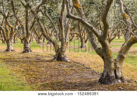 olive trees growing in olive grove in spring