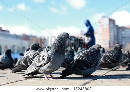 flock of pigeons begging food on the Square on a sunny spring day