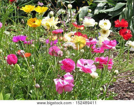 Bright and colourful colorful poppy flowers in a spring poppy garden