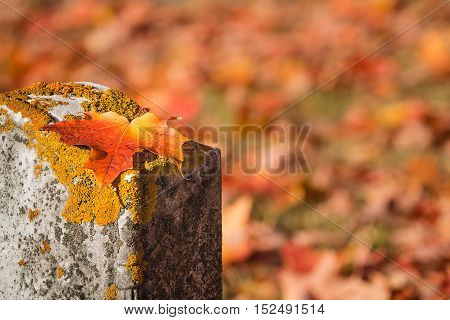 Fallen maple leaf on tombstone in autumn cemetery copy space