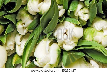 beautiful white double tulips, background