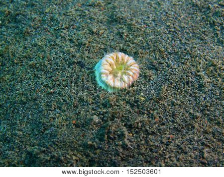 The surprising underwater world of the Bali basin, Island Bali, Puri Jati, single coral