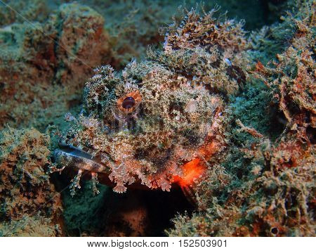 The surprising underwater world of the Bali basin, Island Bali, Puri Jati, scorpionfish