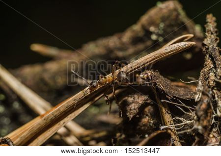 wood ant crawling in the woods in search of food