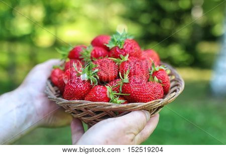a fresh crop of delicious red ripe juicy strawberries on nature