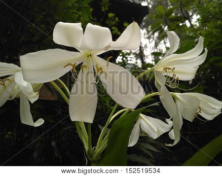 Beautiful white flower in Indonesian forest is awesome