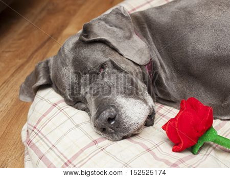 Great Dane purebred female asleep on a pillow with a fake rose
