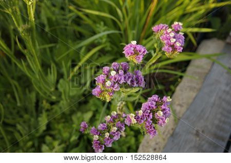 Kermek notched or Kermek vyemchatolistny (Limónium sinuátum) - herbaceous plant species of the genus Kermek (Limonium) family plumbaginaceae (Plumbaginaceae)
