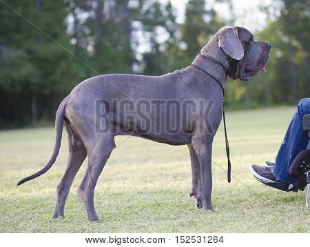 Great Dane next to its owner in a wheelchair