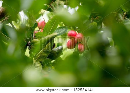 It is Karonda Fruit in the garden, Thailand