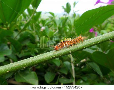 Little orange caterpillar walking on the green branch