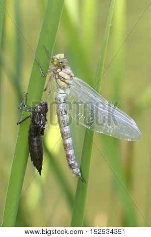 Metamorphosis of dragonfly Blue darner in the plant