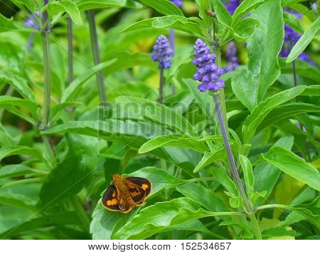 Orange and black butterfly on the bright, green leaf of Lavender plant