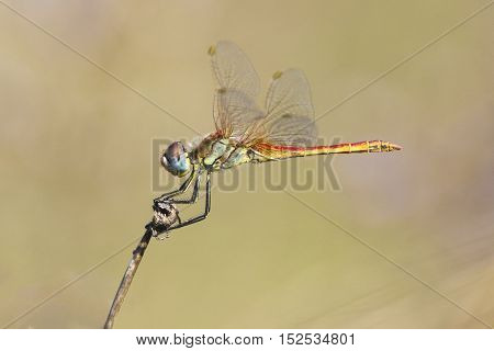 Dragonfly Red veined Darter Sympetrum fonscolombei perched on a twig