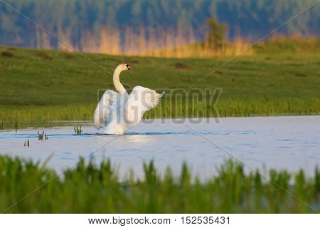 Mute Swan Cygnus olor lands on the pond