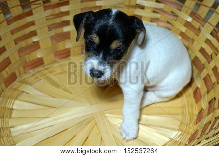 jack, russell, puppy, white, cute, dog, background, terrier, animal,